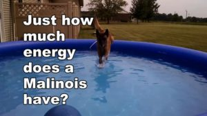 How much energy does a Malinois really have?