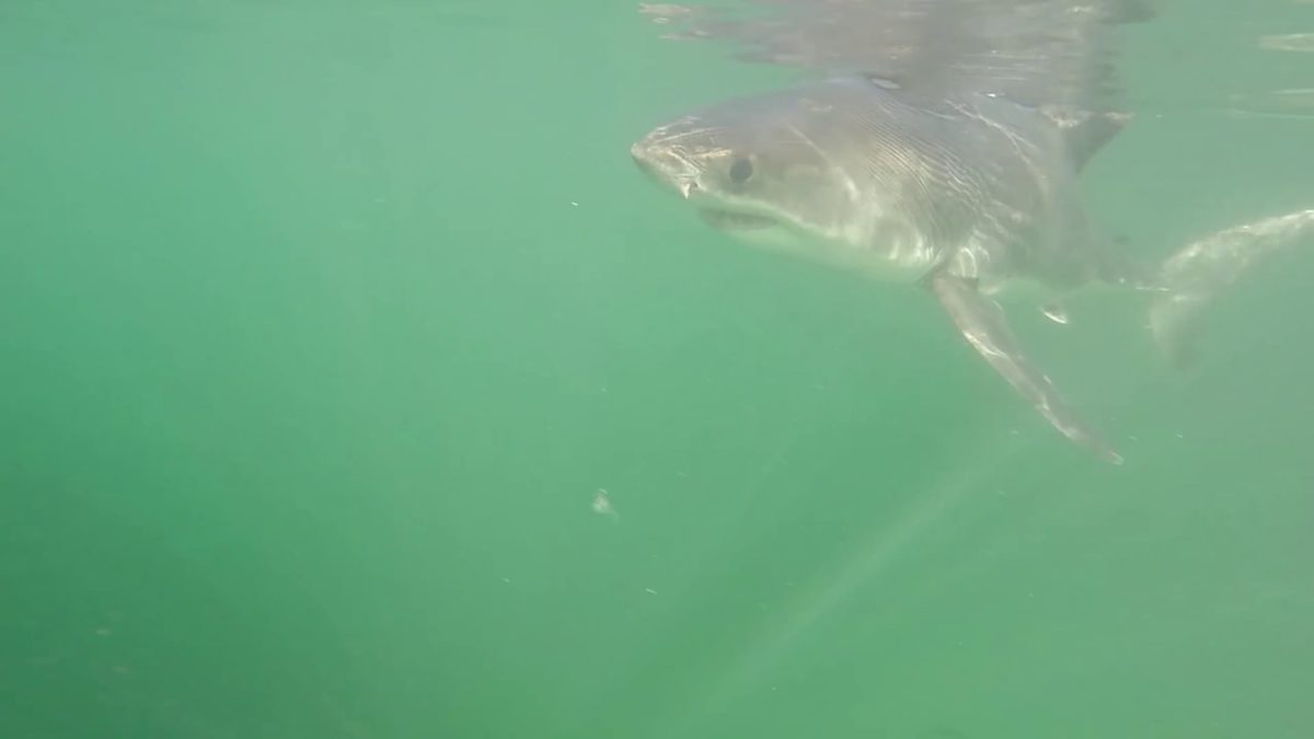 Carcharodon carcharias – Great White Shark – Juvenile / Fisherman's Wharf – 10/6/14